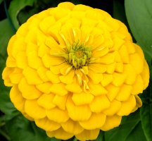 golden zinnia, divine love expressed